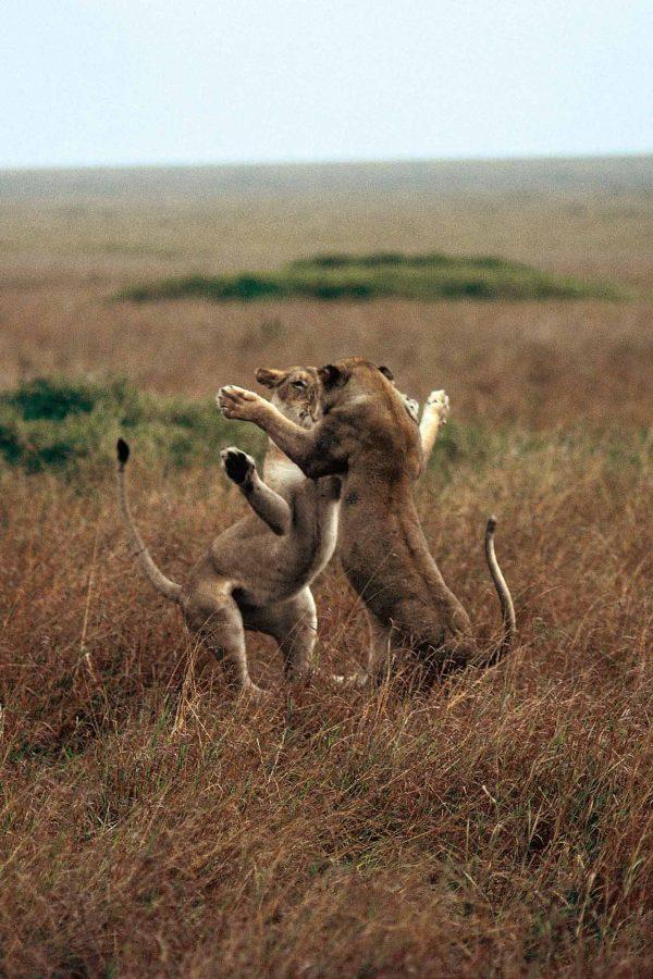 Lionnes Kenya - Yann Arthus-Bertrand