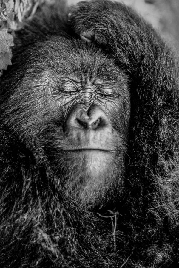 Gorille endormi, Rwanda - Yann Arthus-Bertrand Photo