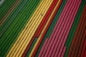 Tulips, Netherlands - Yann Arthus-Bertrand Photography