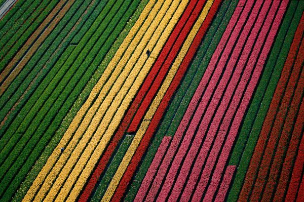 Tulips, Netherlands - Yann Arthus-Bertrand Photography