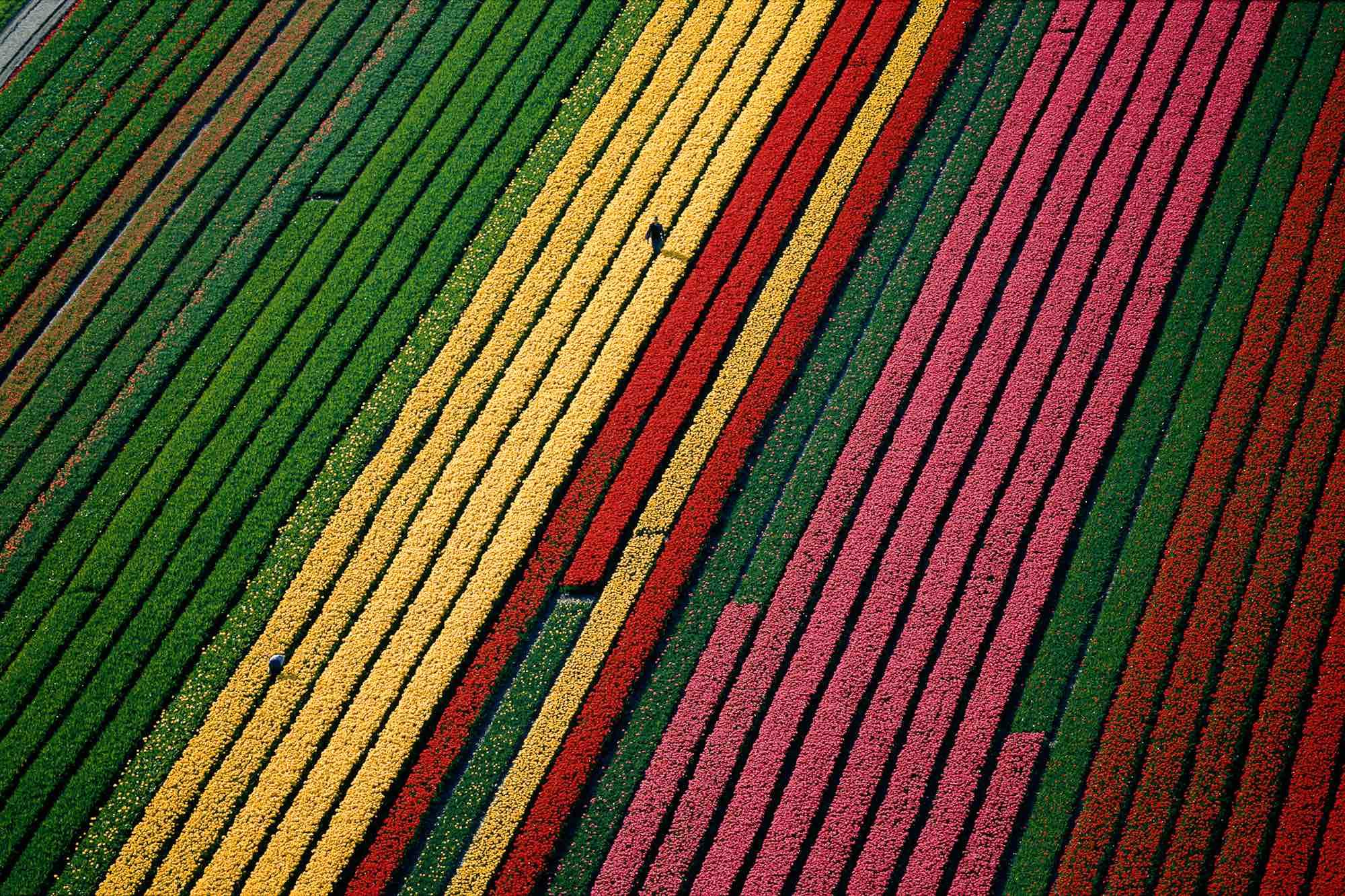 Tulips - Yann Arthus-Bertrand