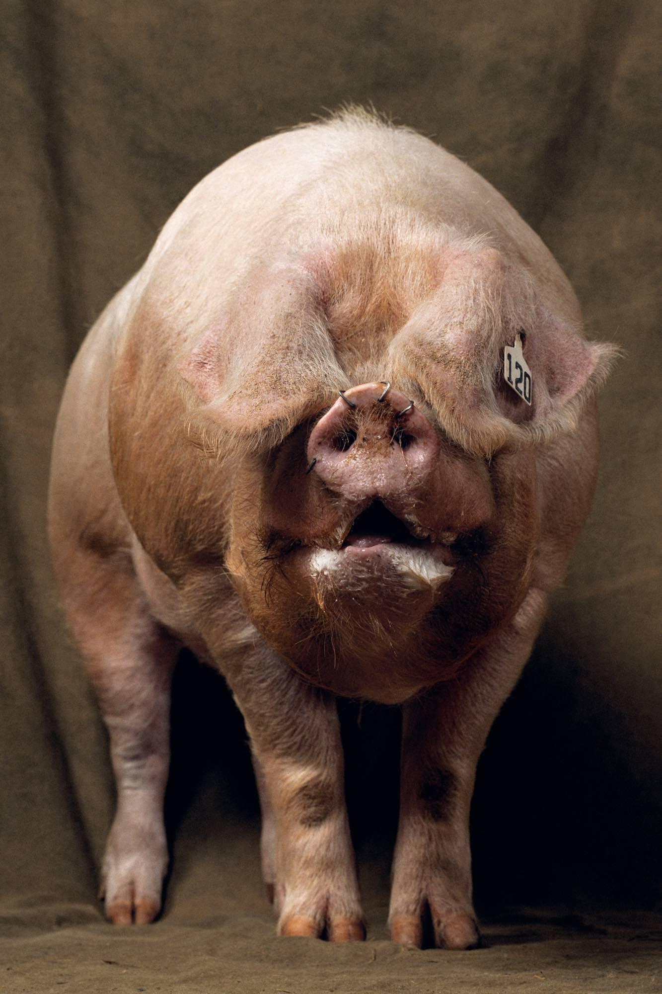 Cochon - Yann Arthus-Bertrand
