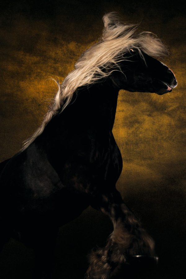 Comtois horse, Germany - Yann Arthus-Bertrand Photo