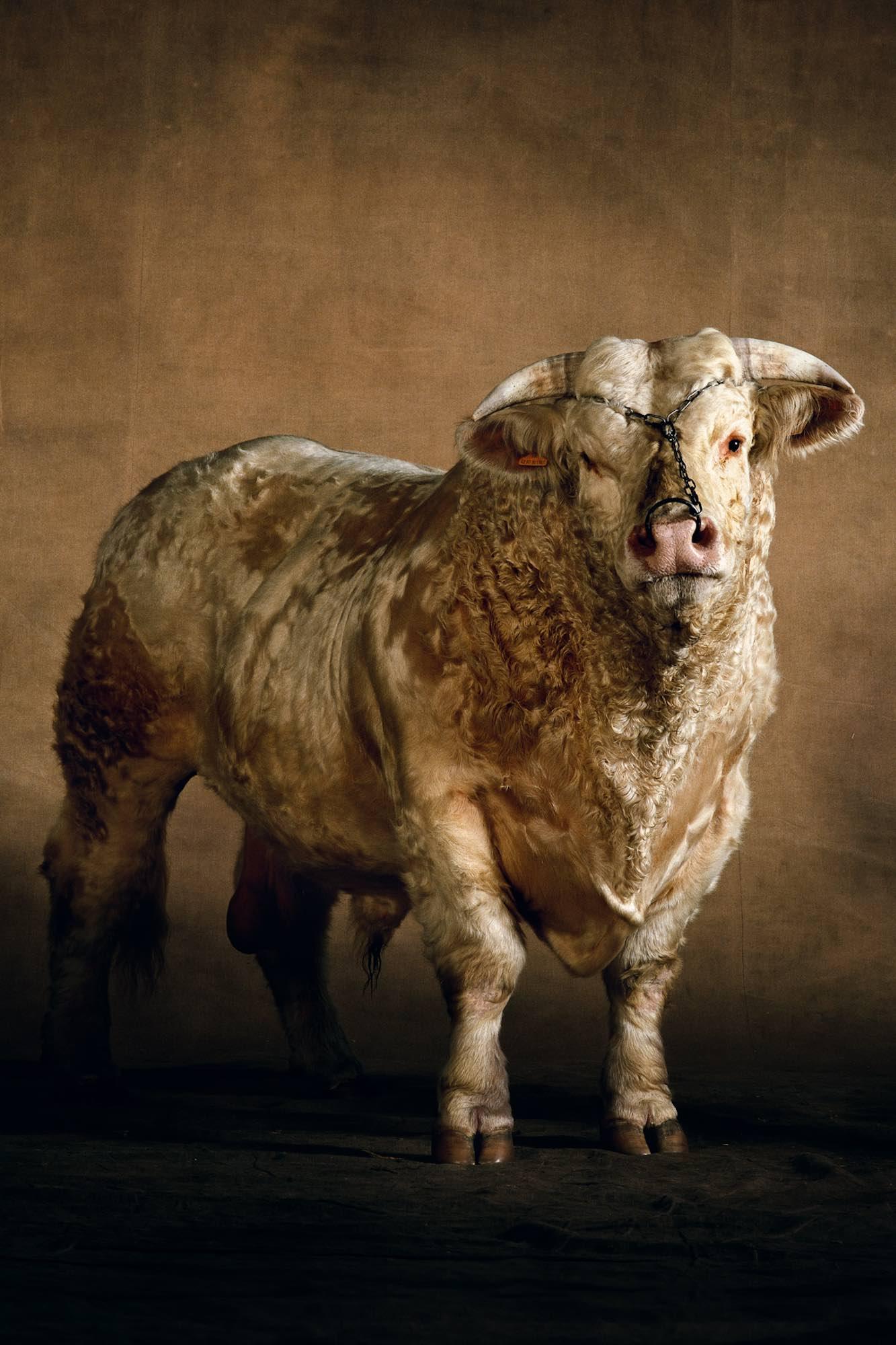 Bull - Yann Arthus-Bertrand