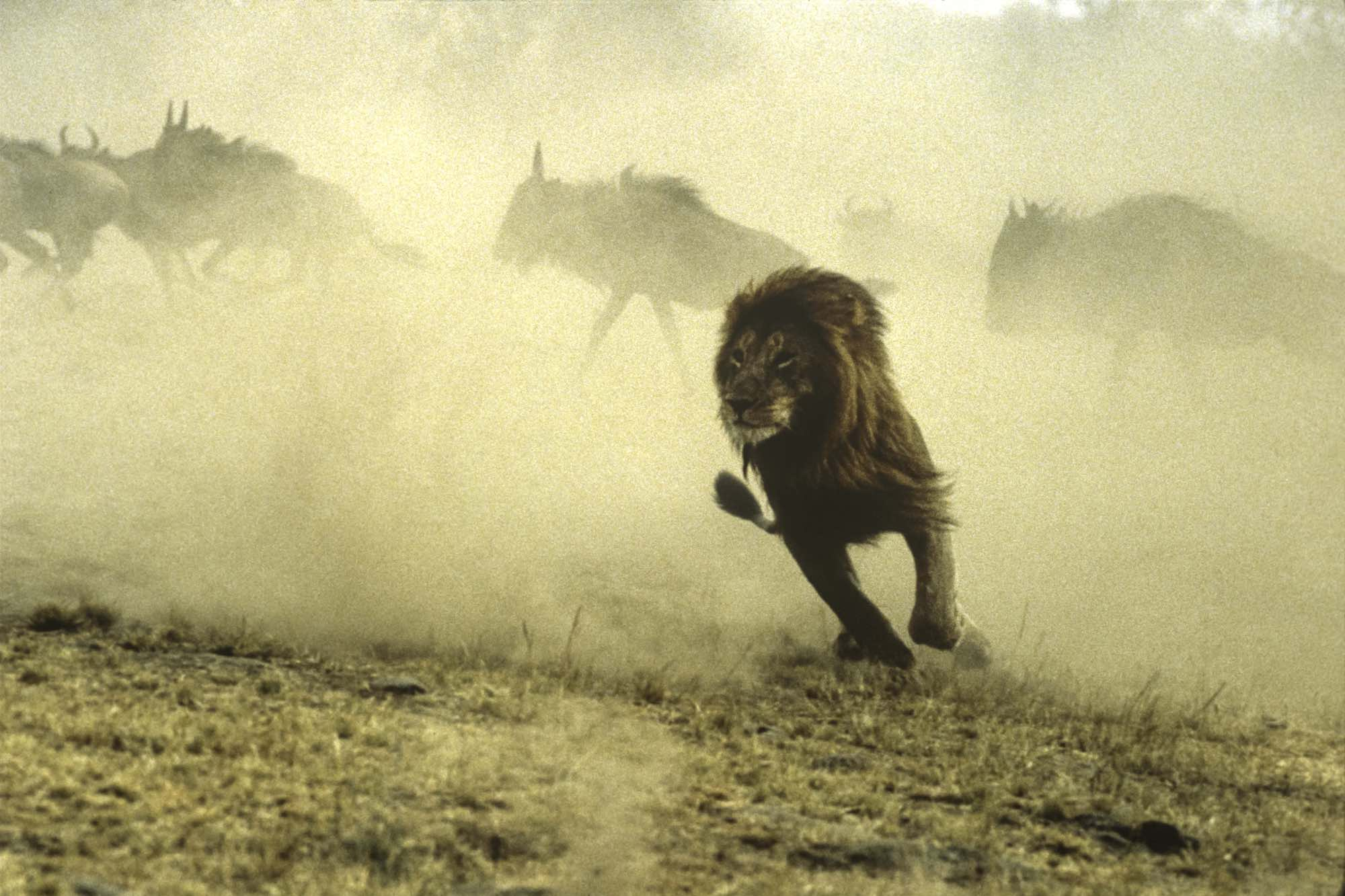 Lion, Kenya - Yann Arthus-Bertrand Photo