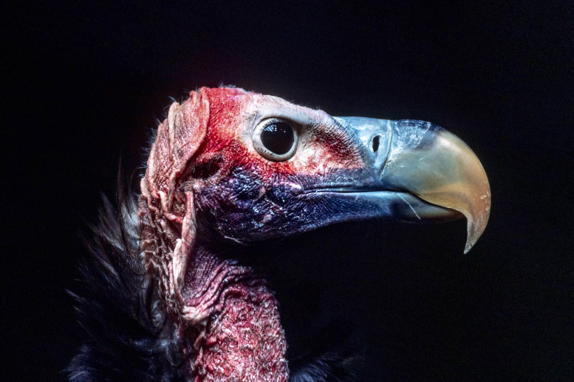 Vulture Oricou - Yann Arthus-Bertrand