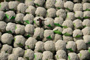 The man and cotton, Ivory Coastn - Yann Arthus-Bertrand Photo