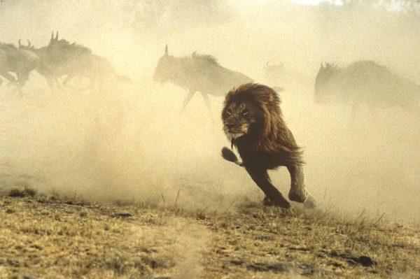 Hook, The Lion, Study of lions in Kenya, Masai Mara