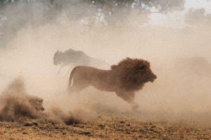 Le Lion et les Gnous