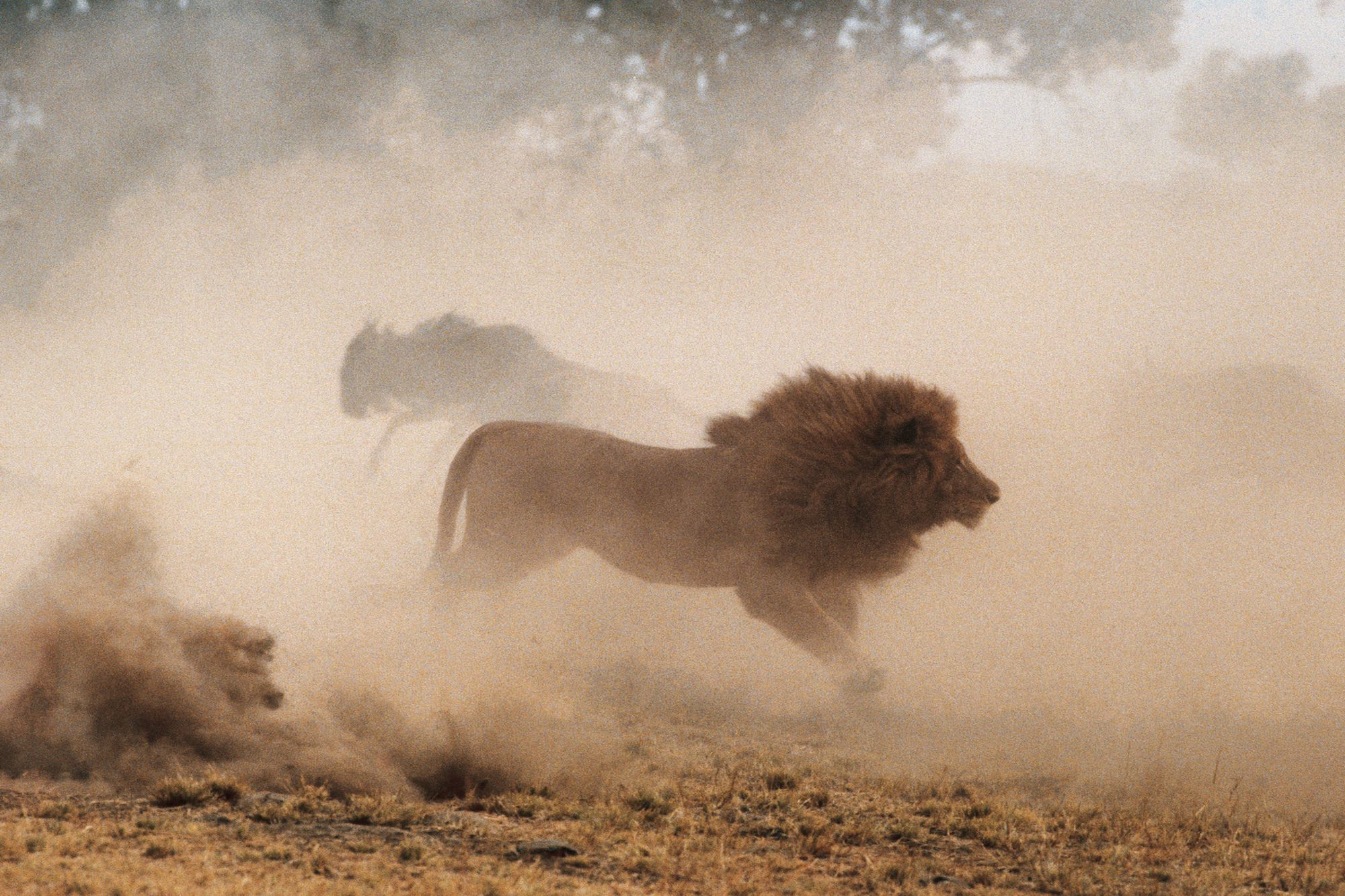 Lion and Wildebeests - Yann Arthus-Bertrand